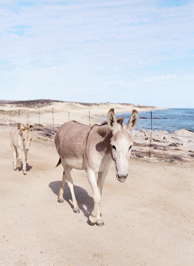Wild donkeys in Baja, Mexico